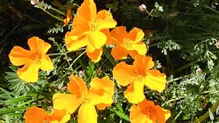 1fc53-sonomaflowers1